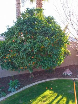 Mandarin and Plum.Trimmed them 3yrs ago.