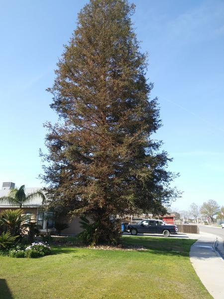 If you have to trim your Redwood this is what they should look like when finished.