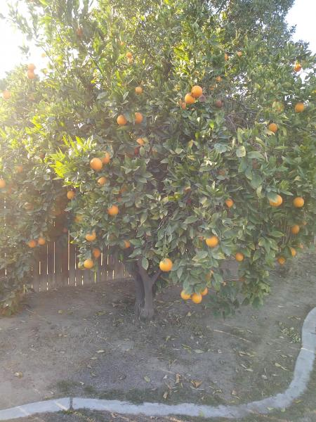 Orange Tree's trimmed & Shaped