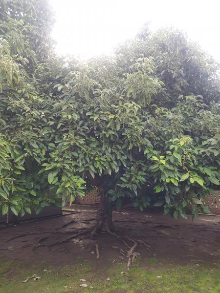 70 yr old Avocado Planted by the owner.Most Delicious.😝