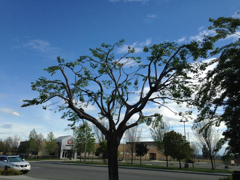 Hackberry tree before an after!