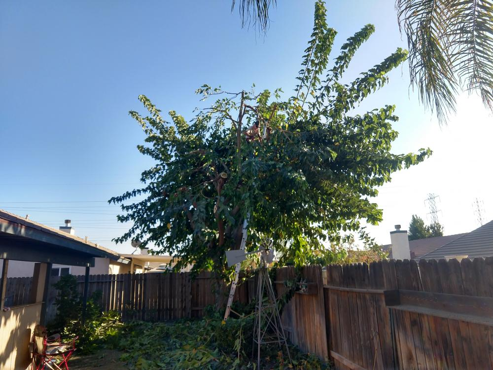 Trimmed mulberry tree