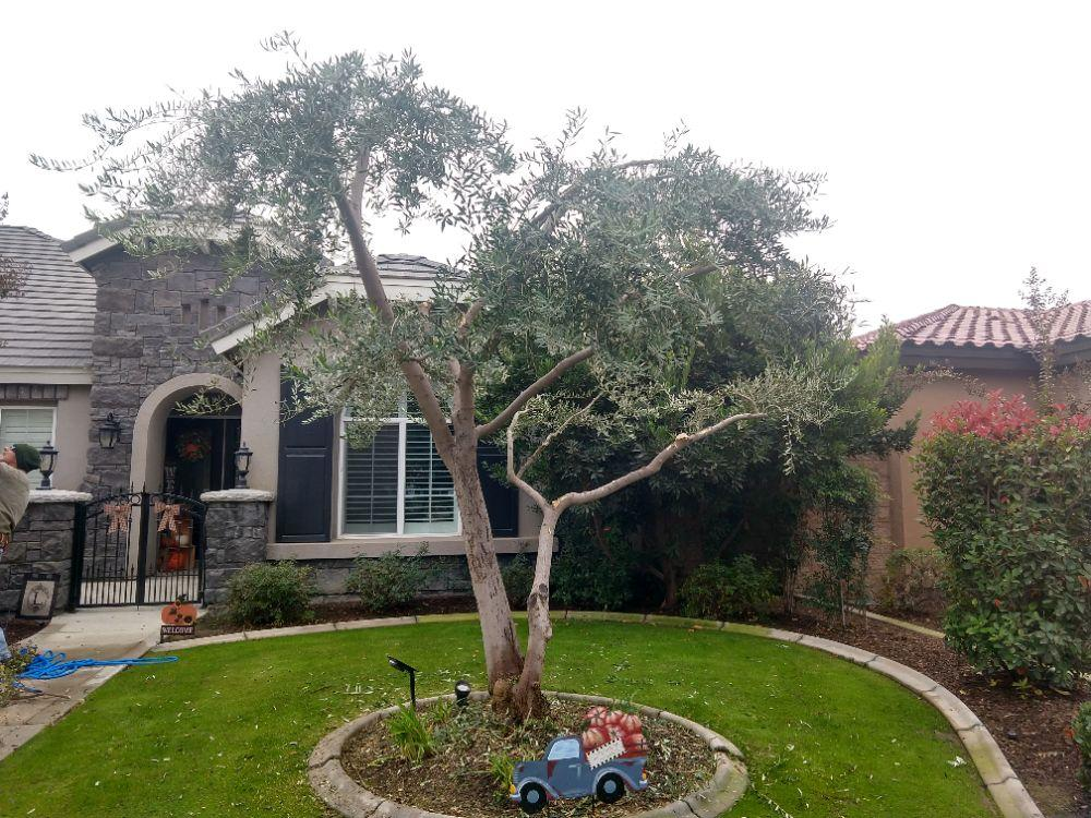 Olive and crepe myrtle tree trimed