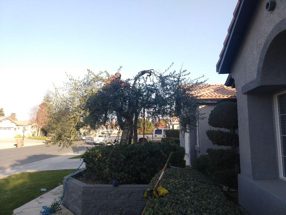Olive tree in the front yard trimmed.