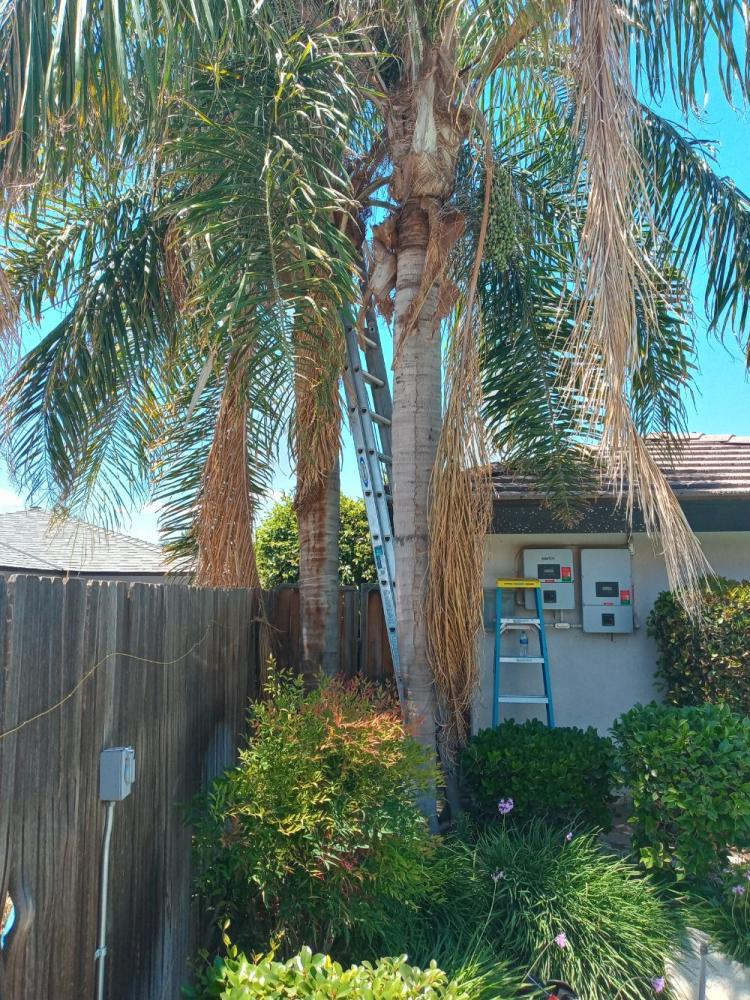 Queen Palms skinned & trimmed.